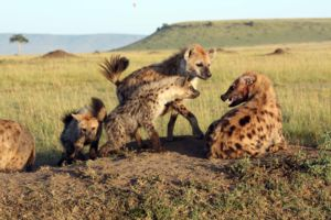 Image of spotted hyenas in the wold