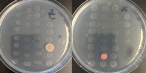 Image of petri dishes with grwoing bacteria