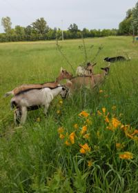 Image of goats on Viens and Johnston's farm