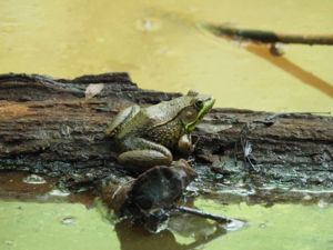 Image of adult green frog