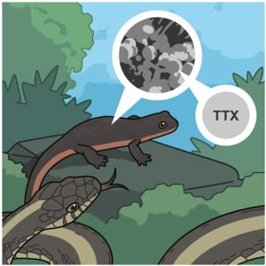 Illustration of newt showing TXX toxin on skin